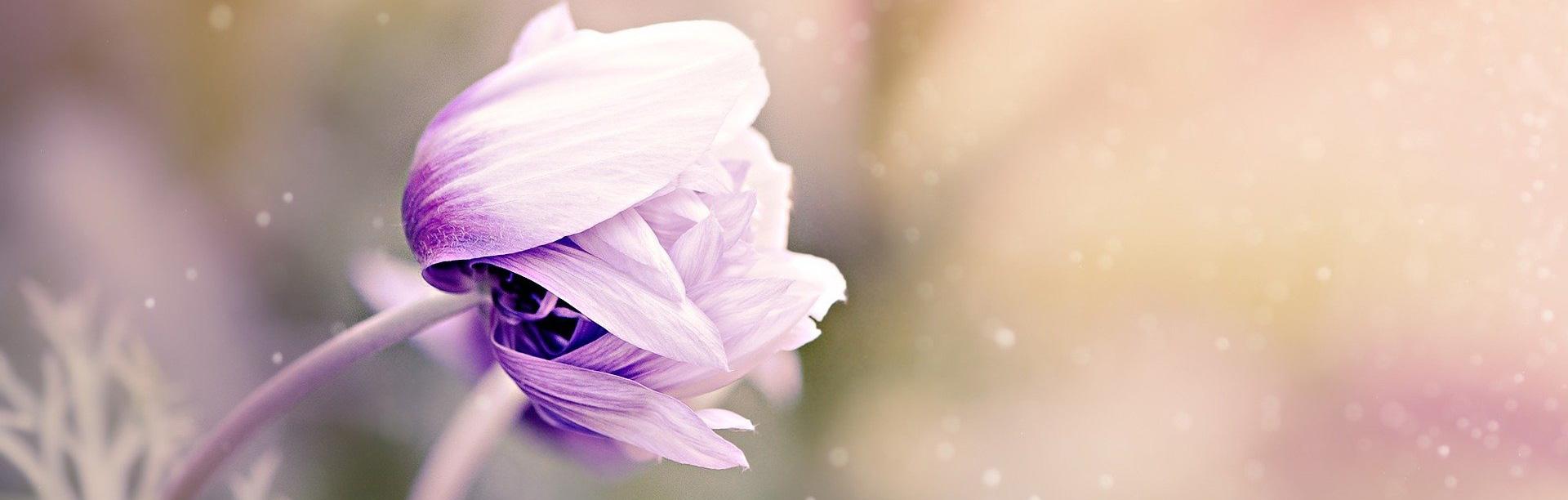 banner lila knospe